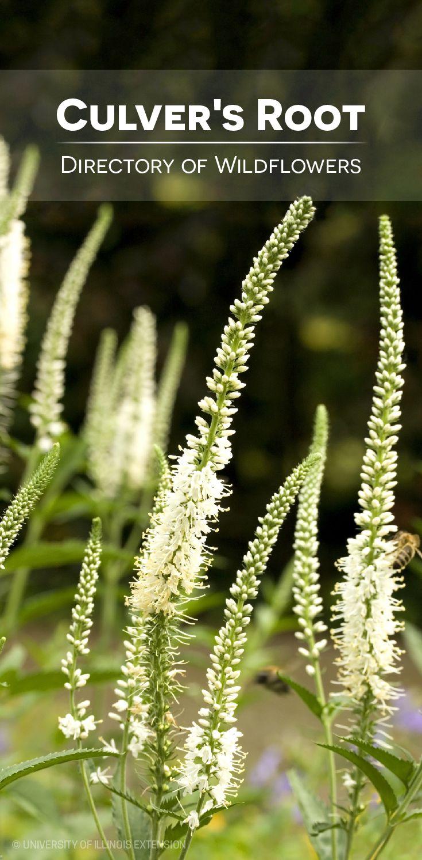 Directory of Wildflowers: Culver's Root (Veronicastrum virginicum)