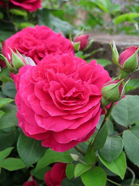 Rose Tess of the d'Ubervilles バラ テス オブ ザ ダーバーヴィルズ by T.Kiya, via Flickr
