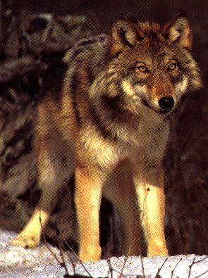 Red wolf - critically endangered.