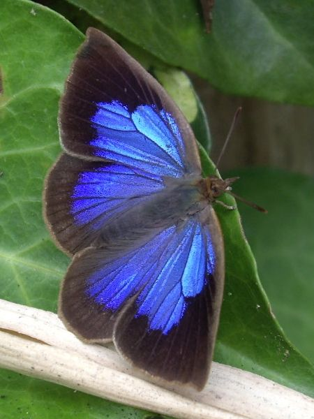 Japanese Oakblue (Arhopala japonica) is a butterfly of the Lycaenidae family. It is found in Indochina, Japan, the Ryukyu Islands, the Korean Peninsula and Taiwan.