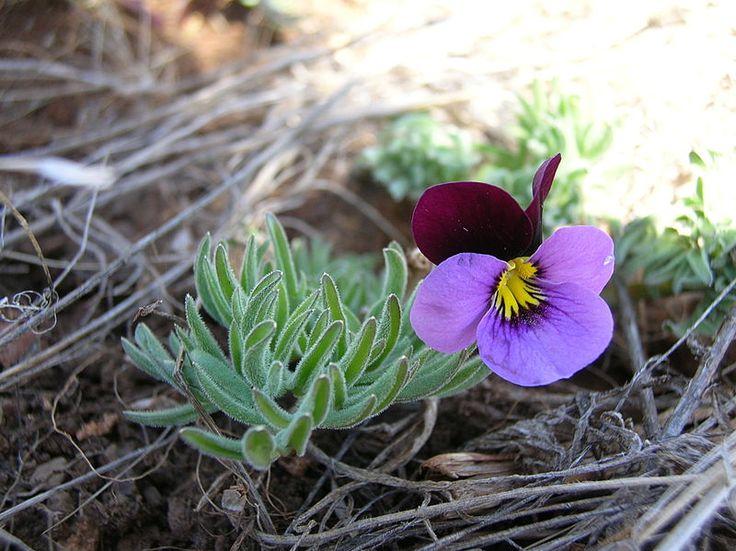 Sirotka - Nízka dvojročná rastlina, vhodná do skupinových výsadieb. Vyhovuje jej slnečné stanoviste, alebo mierne zatienené. Výsev třeba udrživať stále vlhký, pretože je citlivá na zasychanie v tomto období.