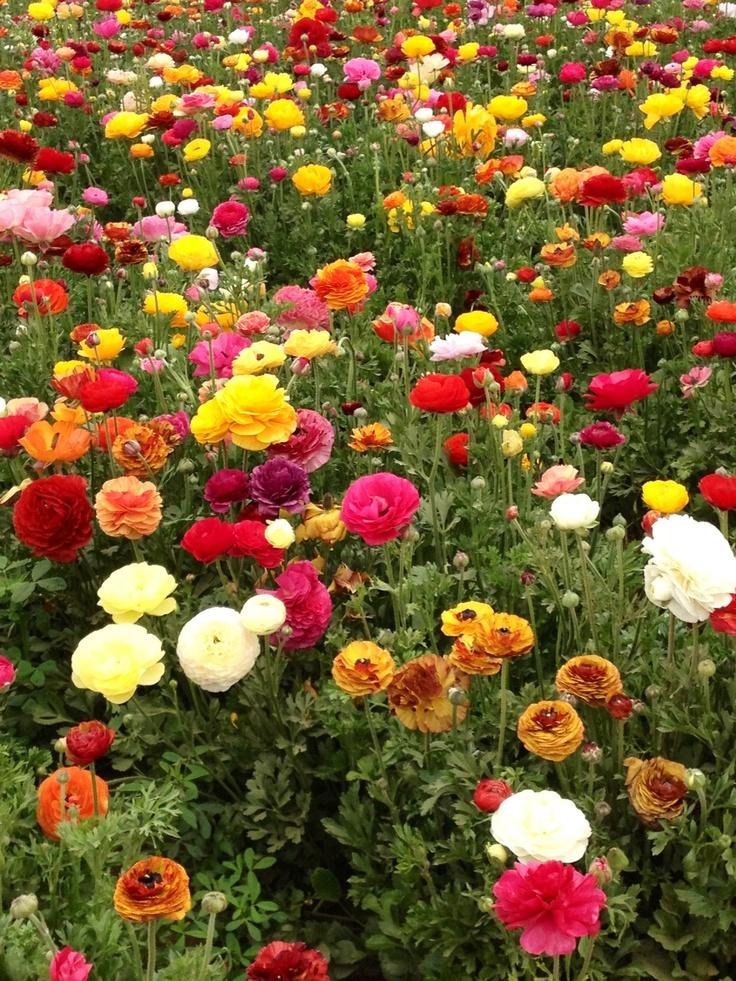 Flower Fields at Carlsbad, closer look