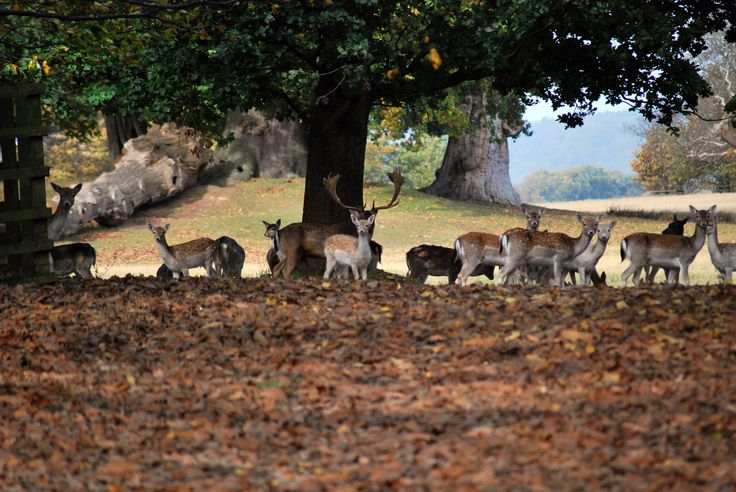 Oh dear!   A small group of Deer in Petworth Park a day before the annual cull in November 2012.