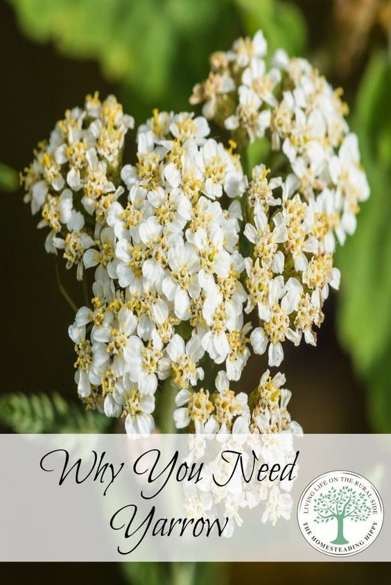 A great plant with many natural medicinal uses, yarrow is easy to grow and should be in your home apothecary!  Learn why here. The Homesteading Hippy