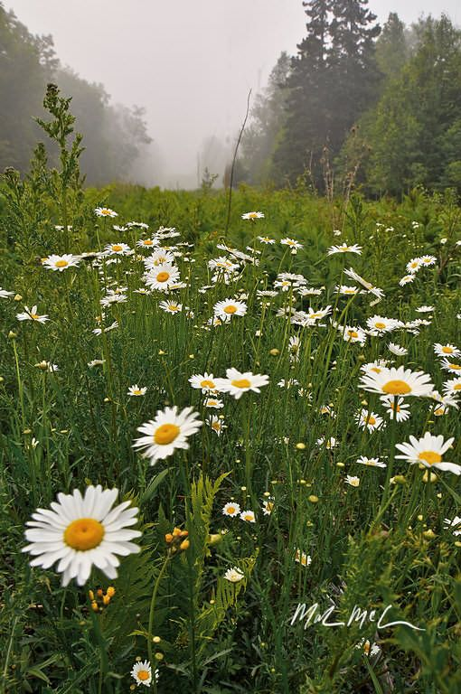 Daisies flower in June in the Hudson Valley. Learn more about Slow Flowers at http://www.festoononhudson.com/
