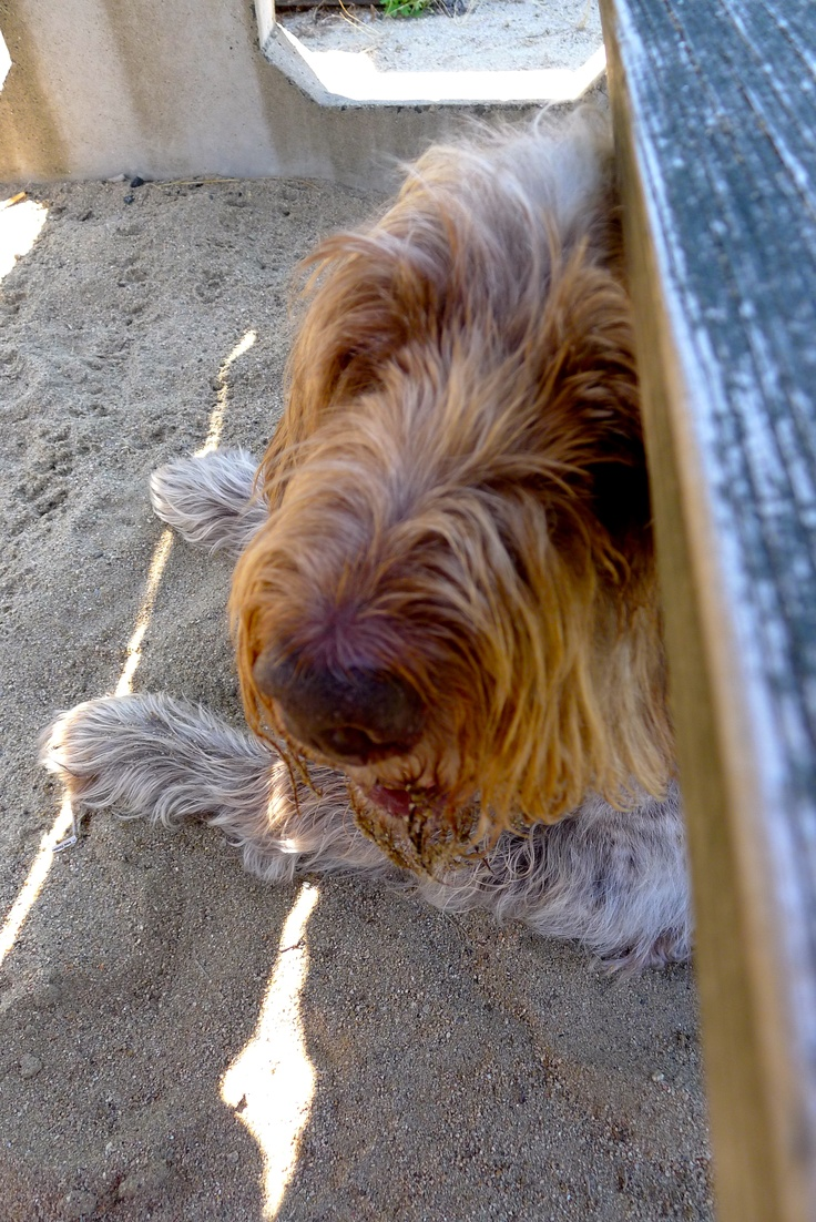 Image of italian spinone brown roan young puppy blue sitting cute - What A Face