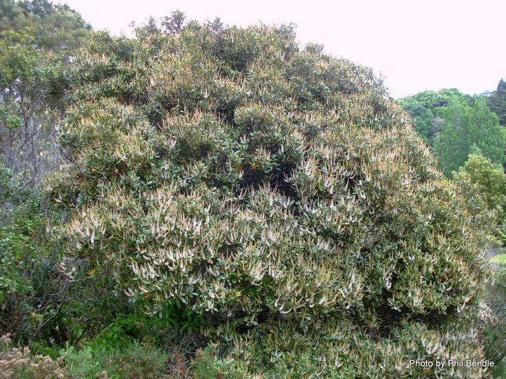 weinmannia racemosa (kamahi)