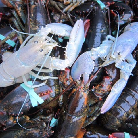 In this photo provided by Owls Head Lobster Company, two rare albino lobsters flank a rare yellow lobster Sept. 5, 2014, on a deck in Owls Head, Maine.