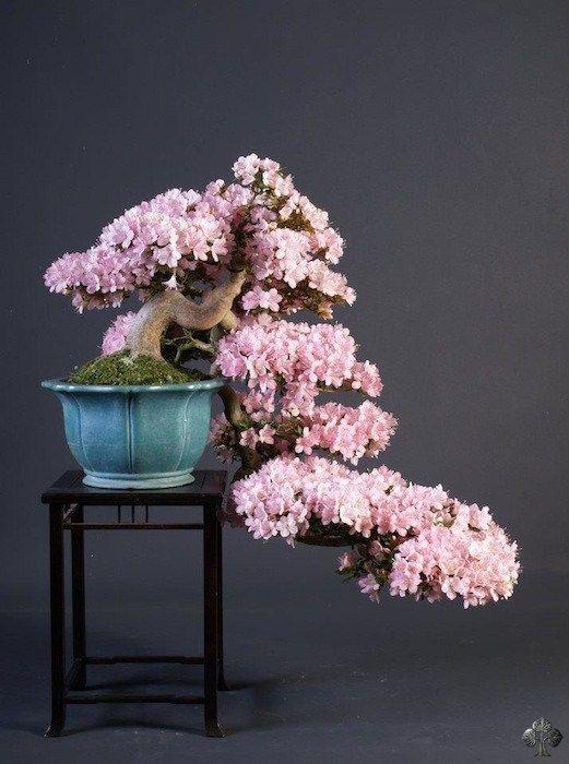 1392 besten bonsai bilder auf pinterest bonsai pflanzen. Black Bedroom Furniture Sets. Home Design Ideas