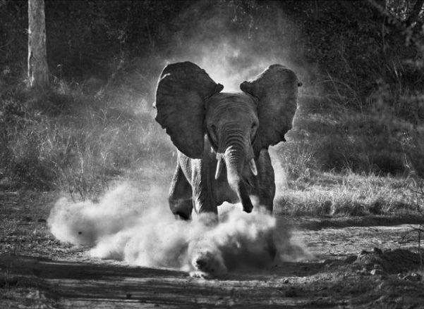 Sebastiao Salgado En Zambie, pourchassés par les braconniers, les éléphants ont peur des humains et des véhicules. Dès qu'ils voient une voiture approcher, ils fuient pour se cacher dans le bush. Parc national de Kafue, Zambie, 2010 © Sebastiao Salgado