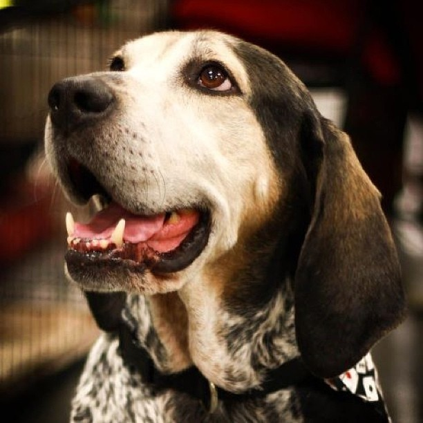 17 best images about bluetick red bone walkers coon hounds beagles on pinterest washington. Black Bedroom Furniture Sets. Home Design Ideas