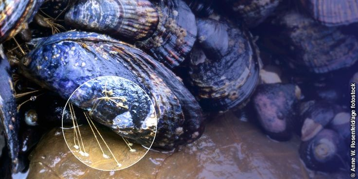 The Byssus of the Marine mussel.