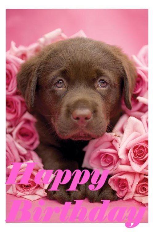 Happy Birthday! (Chocolate lab & pink roses)