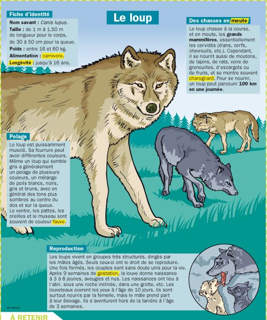 Fiche exposés : Le loup