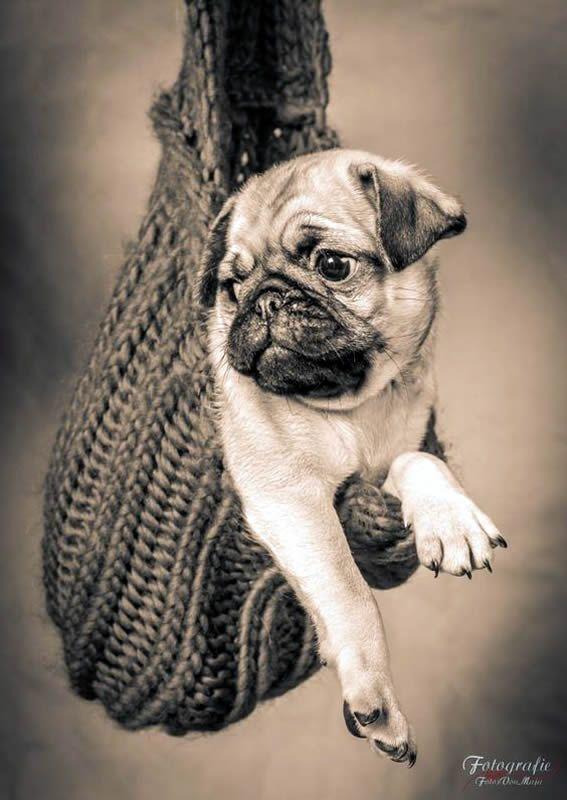 Mops-Welpe | www.jointhepugs.com #mops #pug #welpe