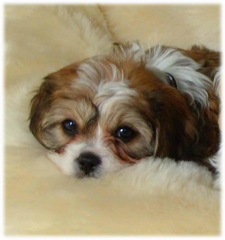 Cavachon Puppy The Perfect Dog For Allergy Sufferers