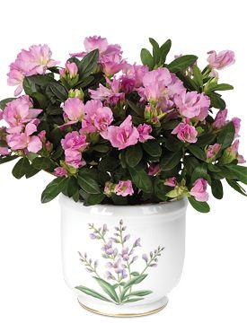 Coral Pink Rozalea | Azalea Flowers, Azalea Plants, Azalea Bonsai - Calyx Flowers