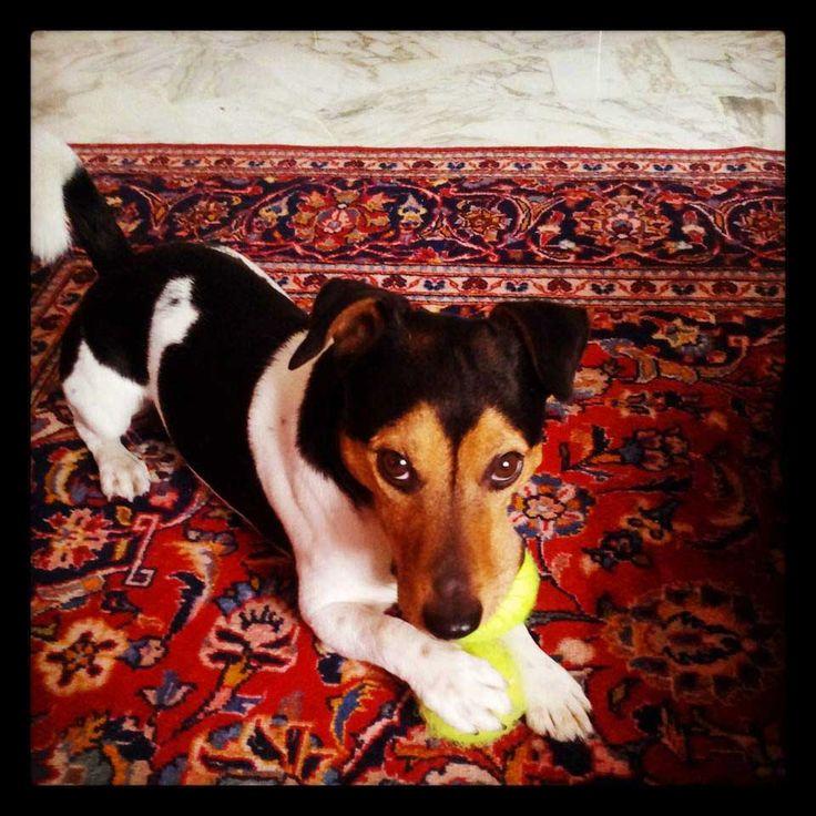Artù #superactivedog #jackRussel #tennisballs #UpTownDog