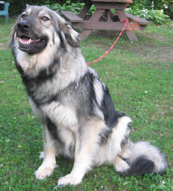 Extreme Dog Breeds: American Alsatian                                                                                                                                                                                 More