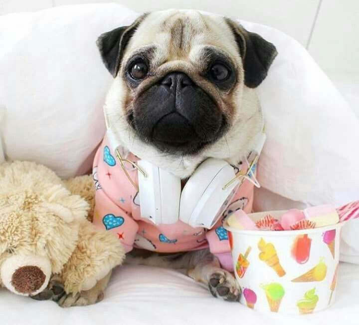 Pin By Veteto Kids On Dogs So Cute Pugs Funny Cute Pugs Cute Cats And Dogs