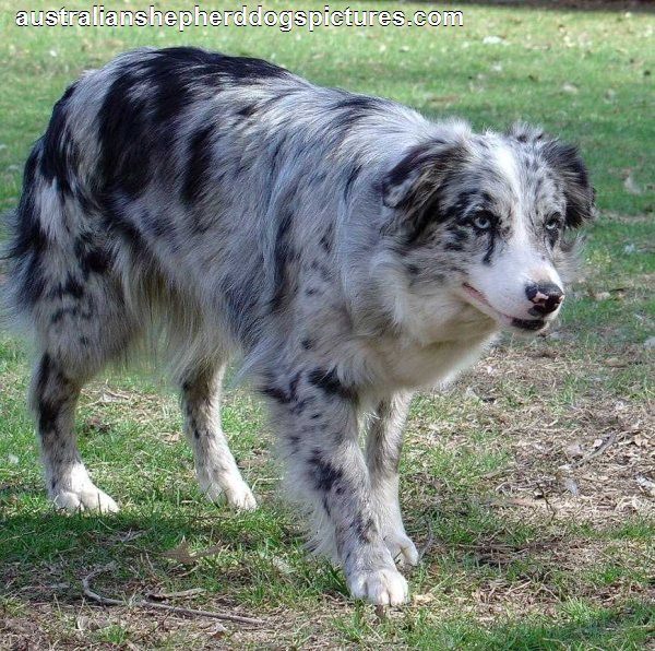 Blue Merle Australian Shepherd... Has it's eye on it's work!