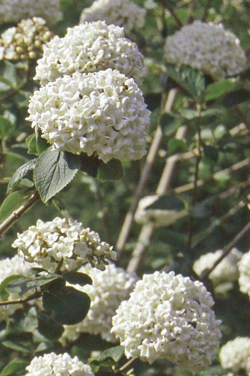 Buy Fragrant Snowball Viburnum carlcephalum For Sale Online From Wilson Bros Gardens
