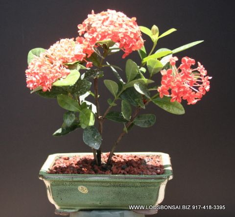 Ixora Petite Orange Bonsai Tree