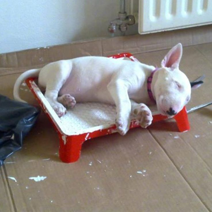 Here are my favourite #BullTerrier sleeping positions, does your #Bully do something even funnier? http://marknpablo.com/bull-terriers-craziest-ever-sleeping-positions/