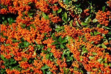 Feuerdorn 'Orange Glow'   Der Pyracantha coccinea 'Orange Glow' (Feuerdorn 'Orange Glow' ) ist eine Pflanze, die sowohl als Heckenpflanze als auch als Kletterpflanze verwendet werden kann. Der Feuerdorn 'Orange Glow' bildet im Mai und Juni hübsche, weiße Blütendolden, wonach im Herbst orangenfarbene Beeren folgen