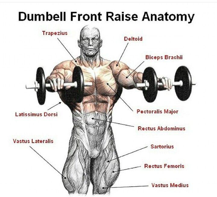 11 Best Bodybuilding Anatomy Images On Pinterest Bodybuilding