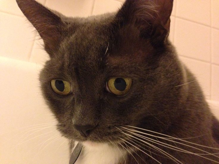 Other cat chewed off his eyebrow whiskers | Pusheen and ...