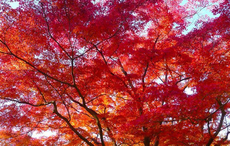 Autumn Tree:红叶在京都   by love_child_kyoto