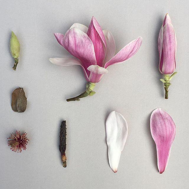 M A G N O L A . x soulangeana deconstructed #botanicalstudy #magnoliasoulangeana #botanicaldeonstruction #deconstructed #deconstruction #mauve #silver #spring