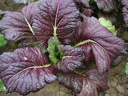 Hořčice čínská syn. sareptská - Brassica juncea (L.) Czern.