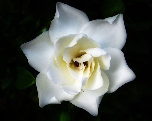 Gardenia. My tattoo is based off of this one!