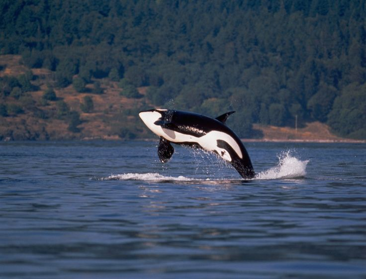 28 best images about Orca Whale on Pinterest | Killer ...