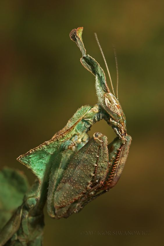 ghost praying mantis - Yahoo Search Results Yahoo Image Search Results
