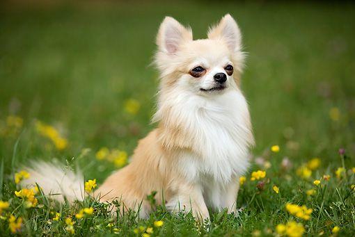 Chihuahua, Long Haired Chihuahua ~ 12 Long Haired Chihuahua Haircuts