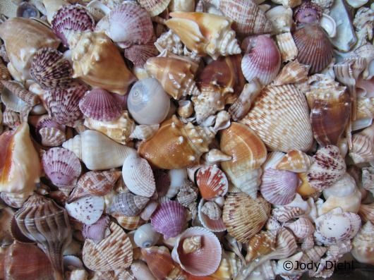 Top 10 Florida Beaches for Seashells: Sanibel Island, Caladesi Island State Park, Captiva Island, Cedar Key,  Panama City Beach, Venice Beach, Little Talbot Island State Park,  Honeymoon Island, Jupiter Island and  Fernandina Beach