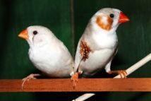 Los pájaros revelan la importancia evolutiva del amor Un estudio con aves pinzón cebra demuestra que las parejas libremente escogidas tienen más probabilidad de procrearUna pareja de pinzones cebra. [16/09/15]