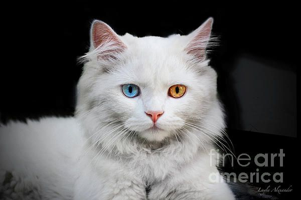 Cats of the World - Catalisque: Feline in White  A young Turkish Angora cat I met in a doorway in an Istanbul alleyway. She was quietly watching the passers by. http://fineartamerica.com/…/catalisque-feline-in-white-layl… #caturday #cats #kitten #artprints #photography #gifts #decor #canvas #greetingcards #showercurtains #duvetcovers #tshirts #fashion #throwpillows #phonecase #mug #beachtowel #cosmeticcase #pets