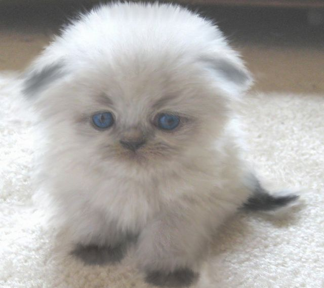 Young fury Scottish Fold kitten ---- I am a big dog person ... Fluffy Little Dog Breeds