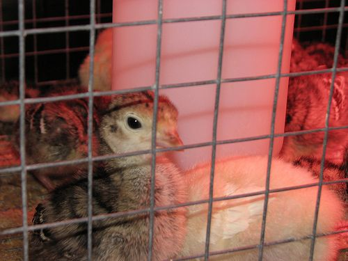 How to Raise Turkeys from Poults: If you're starting your turkey flock with day-old poults, you are probably wondering how to make sure they grow into healthy, happy adult turkeys. With some preparation and care, your baby turkeys will thrive.