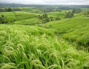 JATILUWIH TOUR - One of the best tour to visit Rice Terrace unfolding