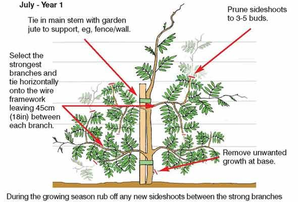 How to grow and prune wisteria.  Pruning is done *twice* a year, in late winter (February) and mid-summer (July to August)