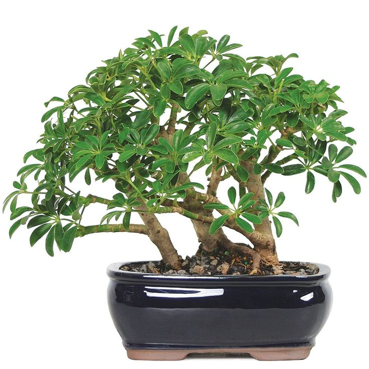 Bonsai Dwarf Hawaiian Umbrella Tree Plant Garden Hooseplant Best Gift #BonsaiDwarfHawaiian