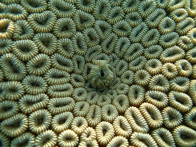 Close up of Favia stelligera, a reef building stony coral in the family Faviidae. Photographer - Cubozoa