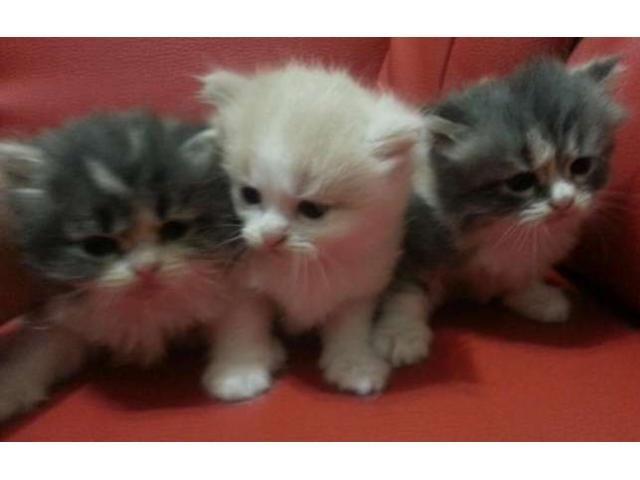 Pisici persane de vanzare Bucuresti Sector 1 - Anunturi gratuite de la A-Z