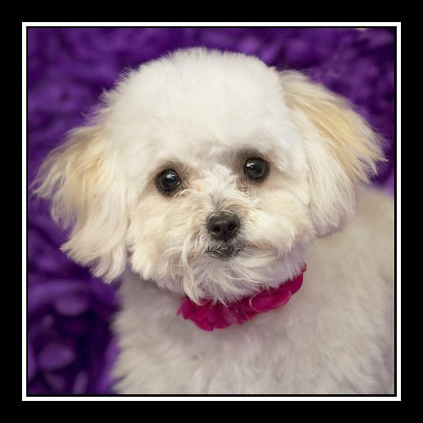 adopt maltese adopt trudie on we need a loving home maltese 7115