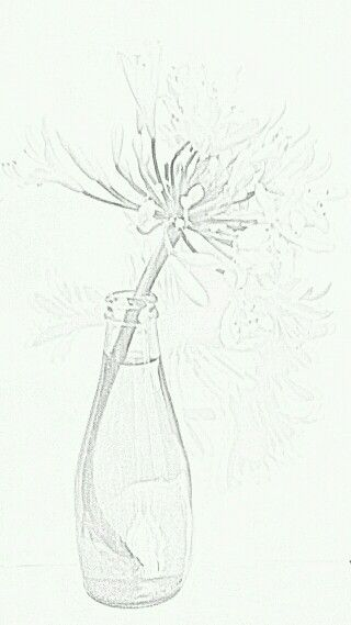Pencil sketch of Agapanthus in Bottle   by   Irena Kristina Rose Forrester   copyright  2015  all rights reserved